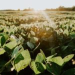 Soybeans field which contains citicoline